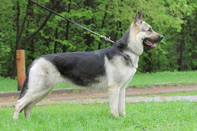 east german shepherd breeders