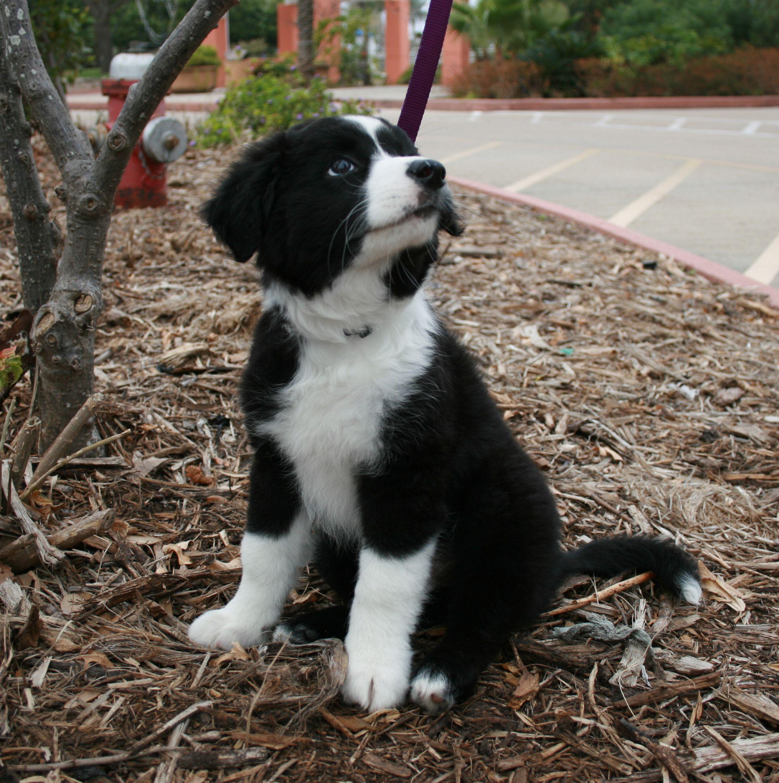 Border Collie Information Dog Breeds At Newpetowners