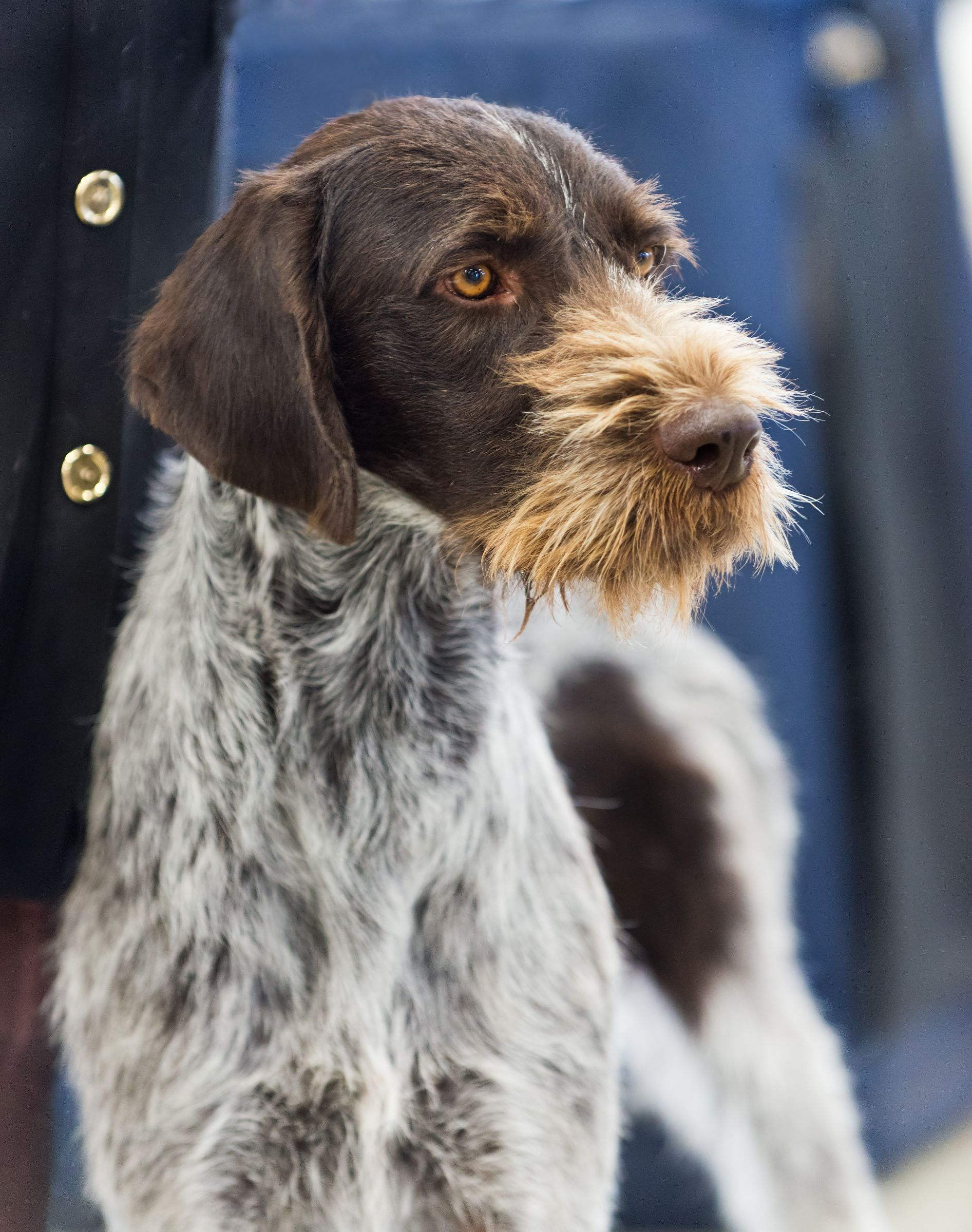German Wirehaired Pointer Information - Dog Breeds at NewPetOwners