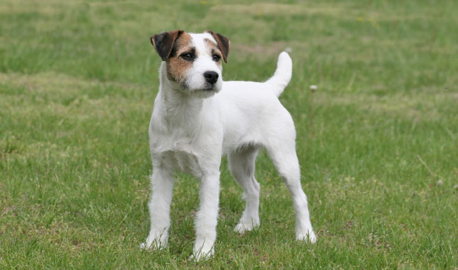Jack Russell Terrier Information Dog Breeds At Newpetowners